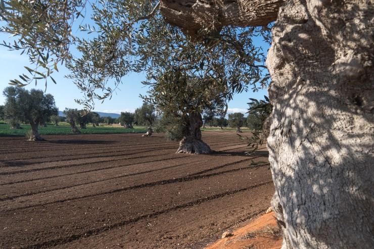 Olio di Puglia tra tradizione ed eccellenza
