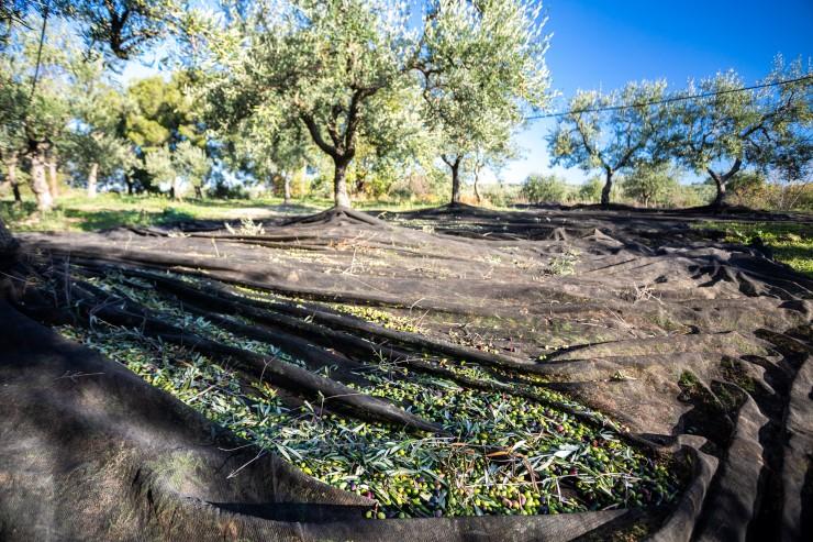 Olio extravergine di oliva pugliese: le regole per riconoscerlo