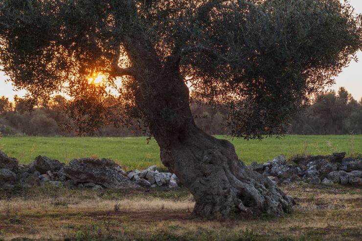Ogliarola salentina, la cultivar regina della terra tra due mari